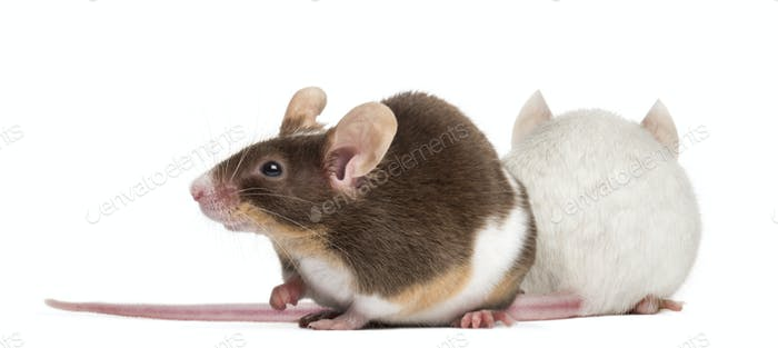Two mice back to back
