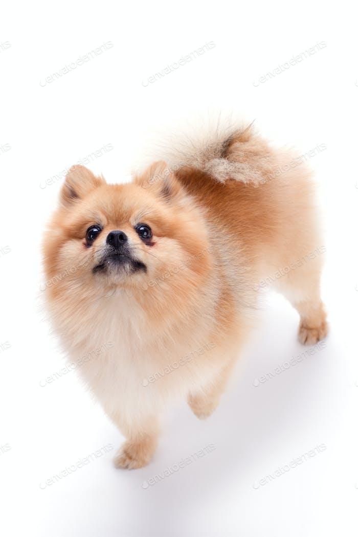 Lovely pomeranian spitz puppy