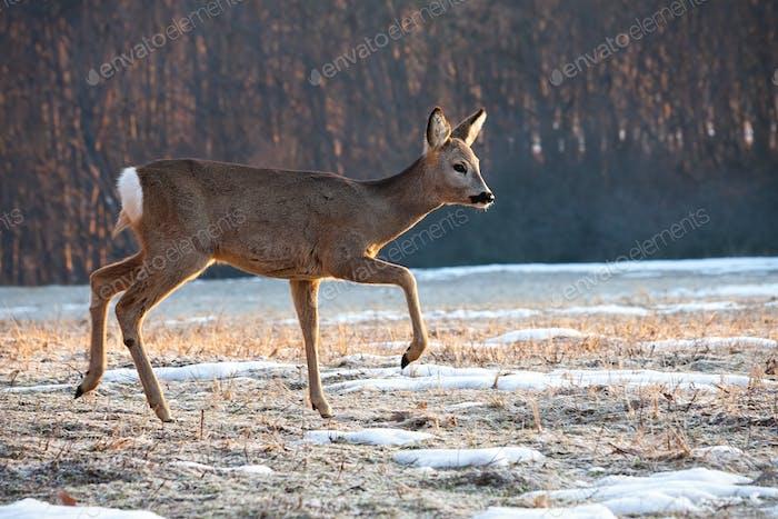 Roe deer doe walking on meadow from side view in winter