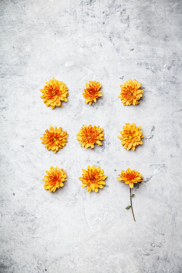Orange Chrysanthemum on grey stone background