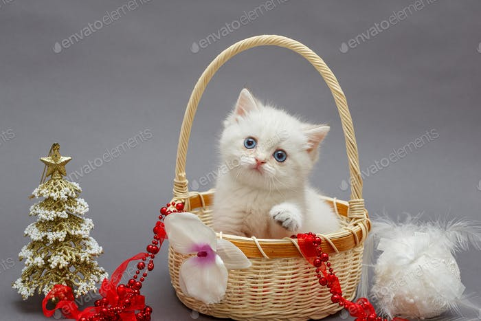 White British kitten in a basket