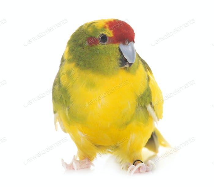 Red-fronted Kakariki parakeet