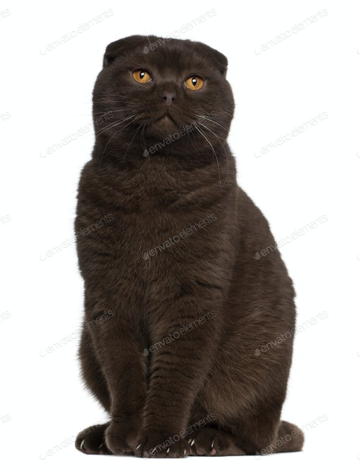Scottish Fold cat, 1 year old, sitting in front of white background