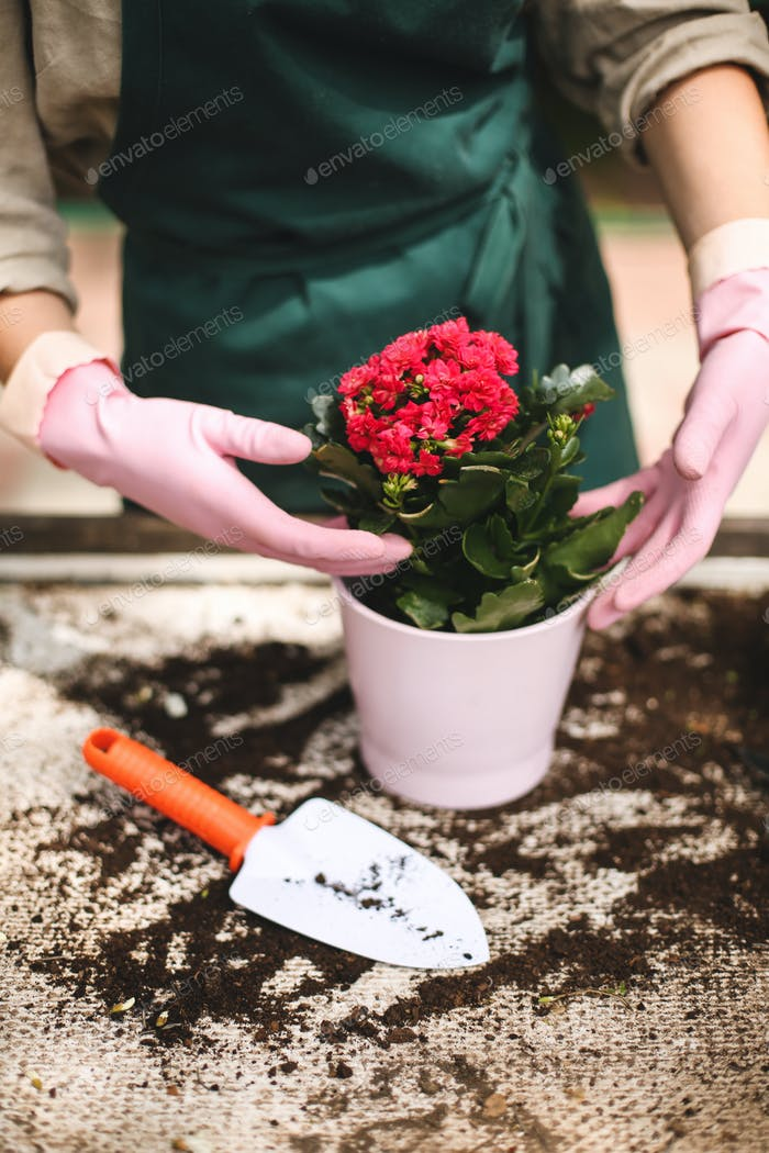 Close up woman hands in pink gloves planting a beautiful flower in pot while working in greenhouse