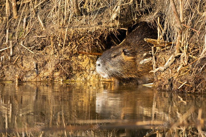 Calm nutria resting in burrow near water in summertime