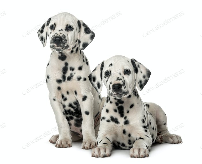 Thumbnail for Two Dalmatian puppies in front of a white background