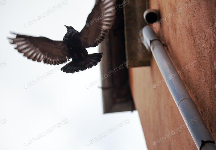 Vogel mit breiten Flügel verteilt fliegen in der Nähe des Gebäudes