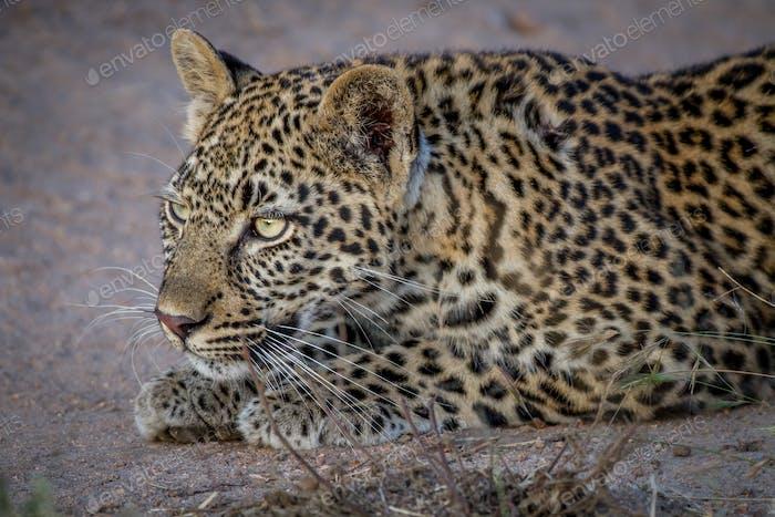 Leopardo acechando en la Arena.