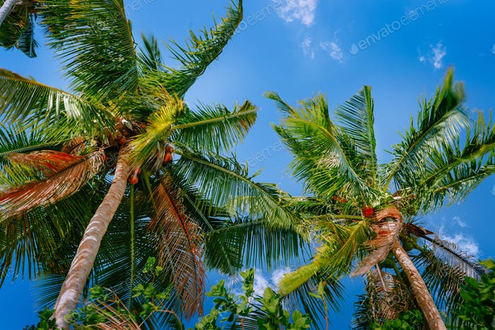 Low angle view coconut palm tree against blue sky