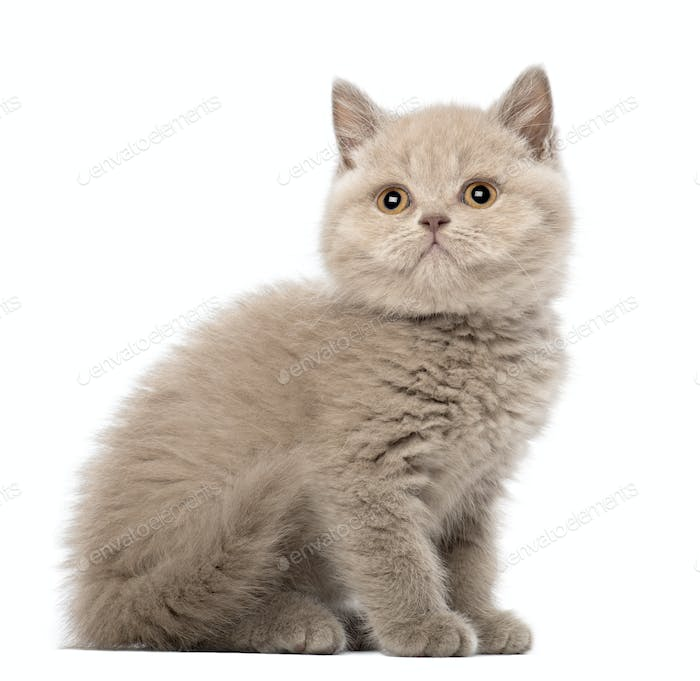 British Shorthair Kitten sitting, 9 weeks old, against white background