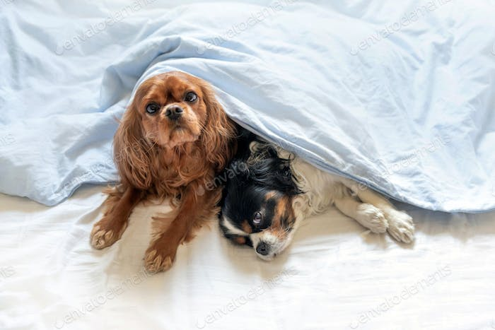 Two cute dogs in bed