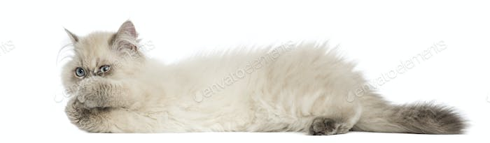 Side view of a British Longhair kitten lying, playing, 5 months old, isolated on white