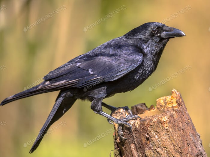 Black Carrion Crow on log