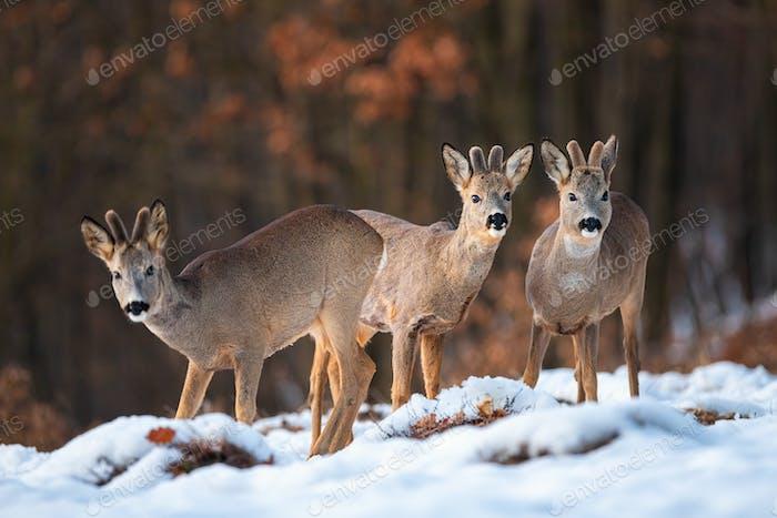 Roe deer bucks in mountains of Slovakia in wintertime