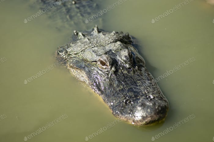 Swamp Alligator Treading Water Southern Animal Wildlife