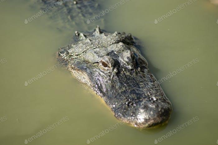 Swamp Alligator Treading Water Southern Animal Wildlife