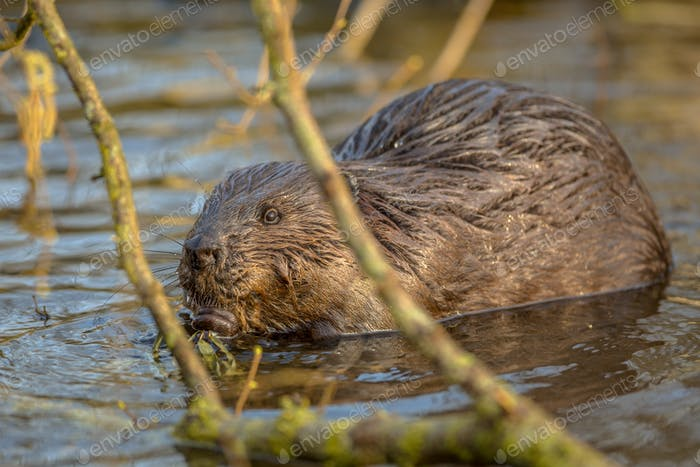 Eurasian beaver in water peeking through branches
