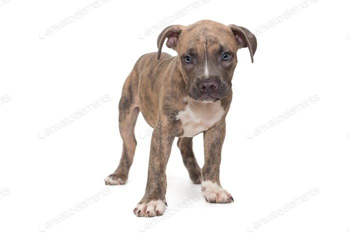 Small American bully puppy