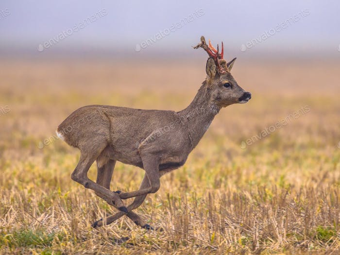 Roe deer running