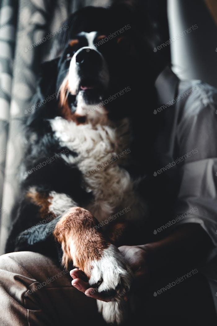 Junge schöne Frau umarmt ihr Haustier - Hund zu Hause. Nahaufnahme Porträt. Berner Berghund