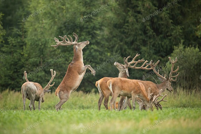 Two fighting red deer stags standing on back legs with antlers in velvet