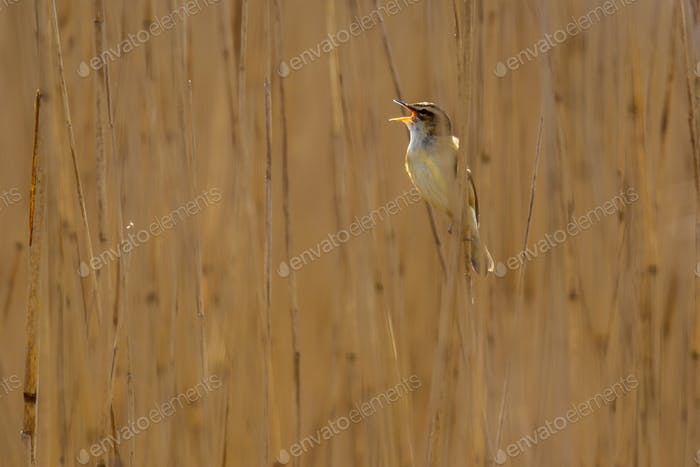 Singing Sedge warbler reed background