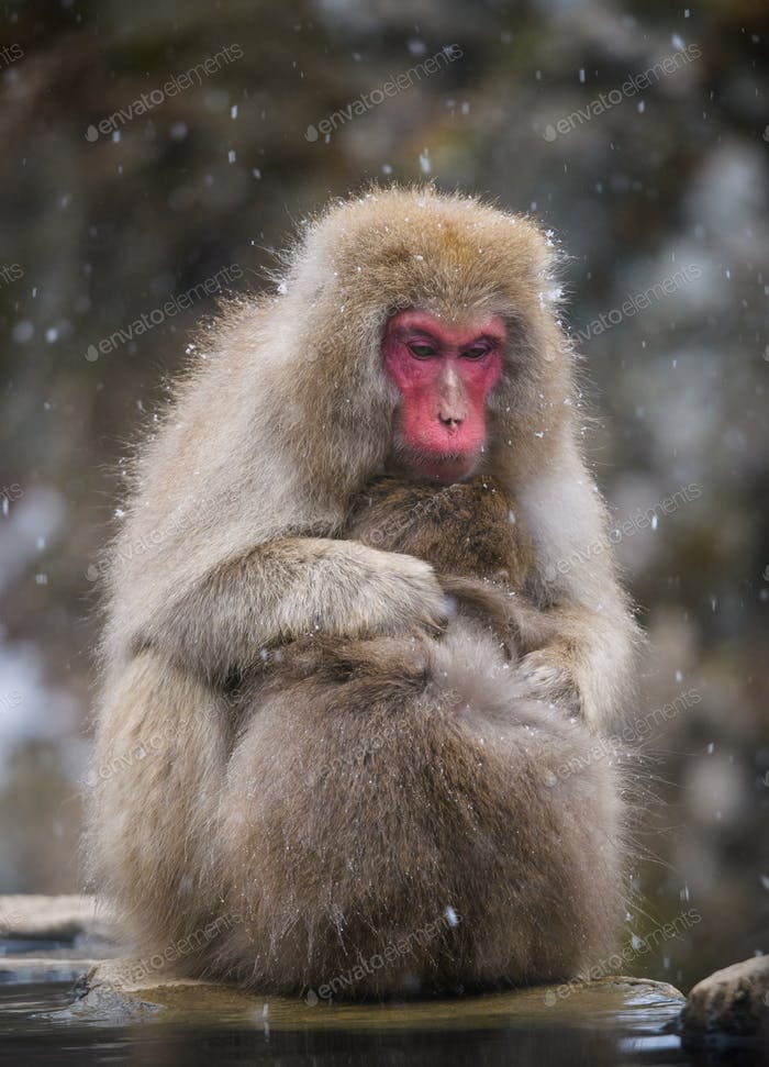 Snow monkey (Japanese Macaque) in a snowstrom, Nakano, Japan