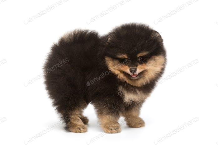 Small, funny black Pomeranian puppy