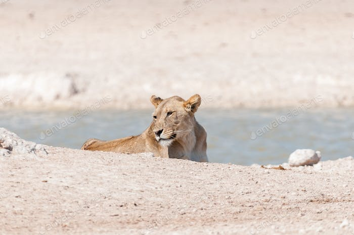 African Lioness at a waterhole in Northern Namibia