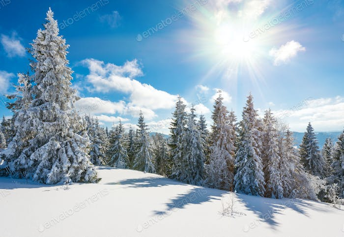 Fascinating sunny landscape of a winter forest