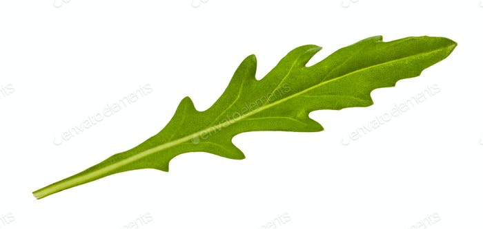 fresh green leaf of eruca herb isolated