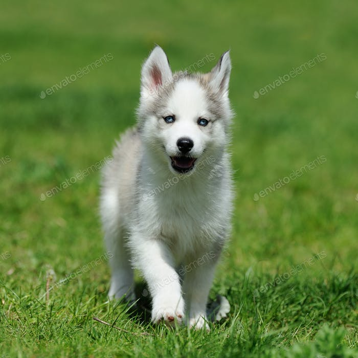 Cute little husky puppy