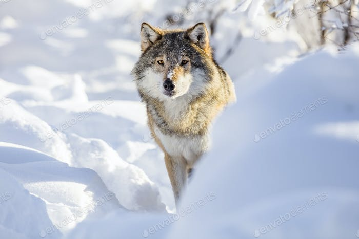 Wolf stands in beautiful white winter snow