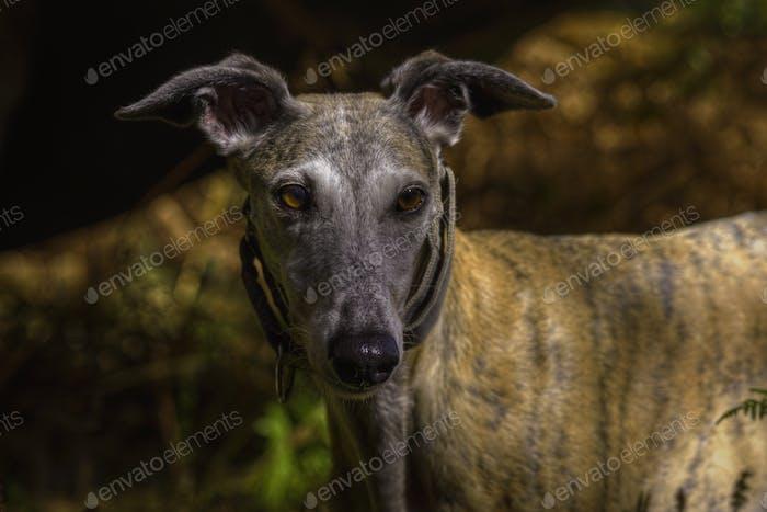 light brown greyhound