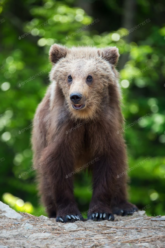 Brown bear cub in a spring forest