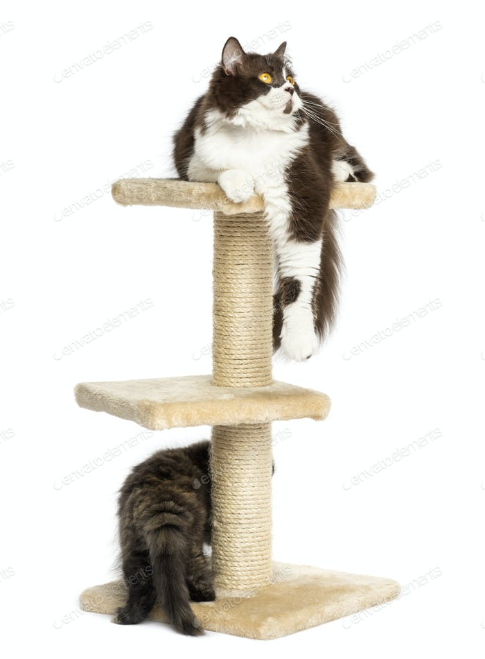 Cats playing a cat tree, isolated on white