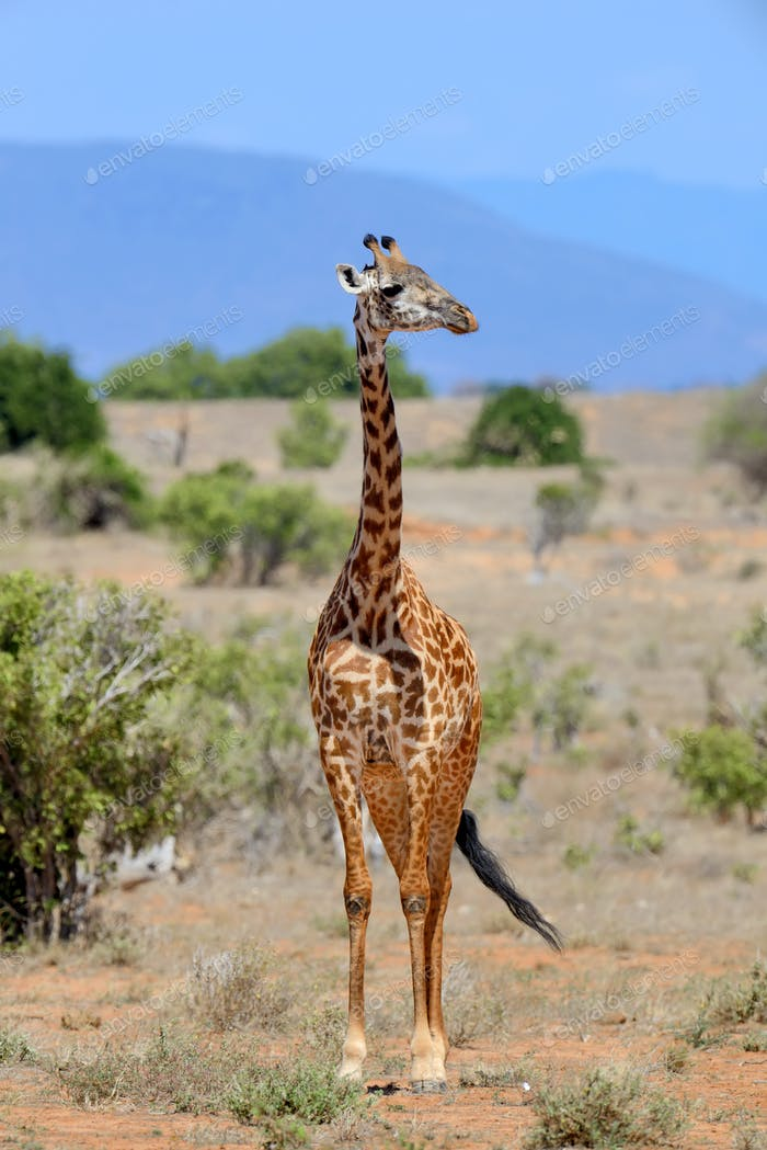 Giraffe on savannah in Africa