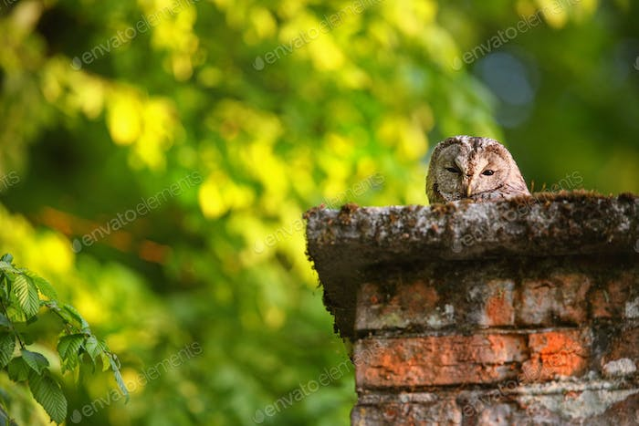 Sleepy tawny owl peeking out of old chimney in countryside