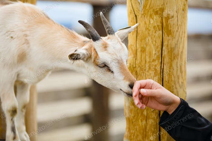 Close-Up Of Female Hand Touching Goat At Farm