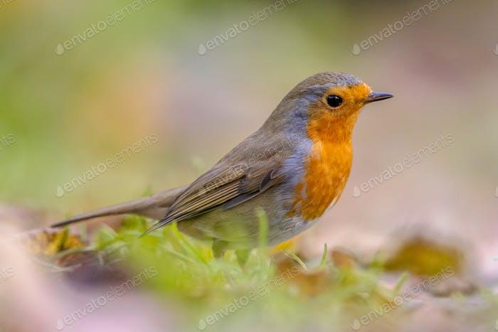 European Robin in autumnal garden lawn