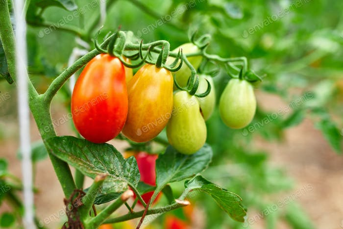 Ripe tomatoes in garden, fresh red vegetable hanging on branch