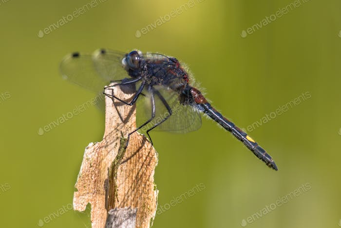 Large white-faced darter perched on reed stick