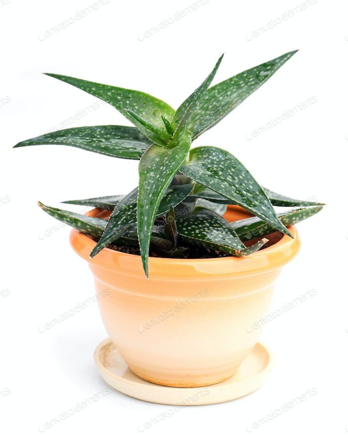 Haworthia in in a pot over white background