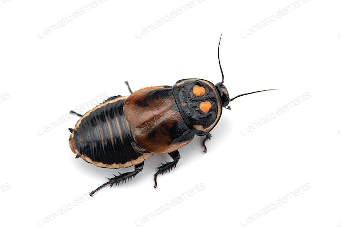 Macro Giant cockroach isolated on white background