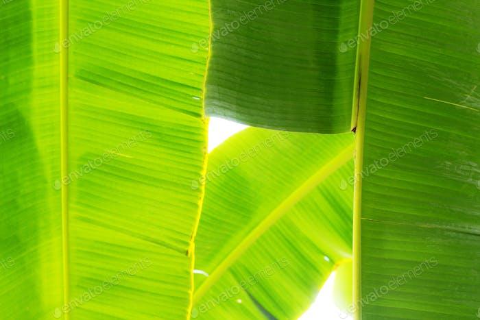 banana leaves at sky