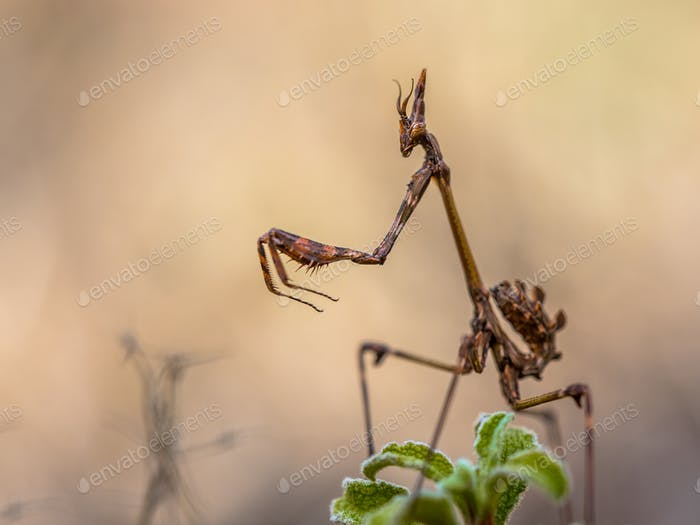 Conehead praying mantis
