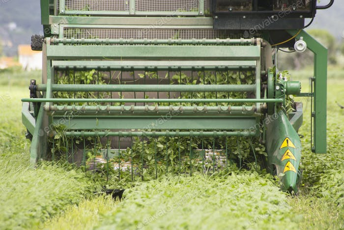 Harvesting of basil by machine