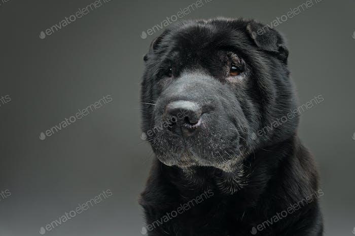 Beautiful black shar pei dog over grey background