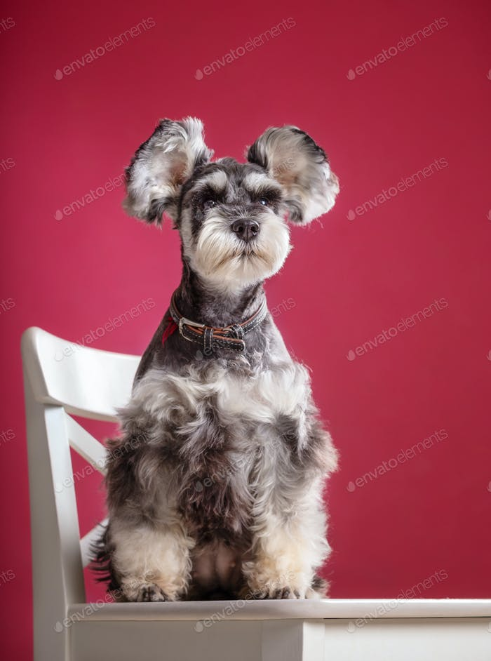 Miniature Schnauzer on a chair in the studio