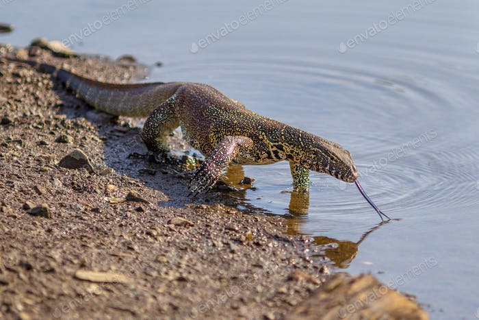 Water monitor on shore
